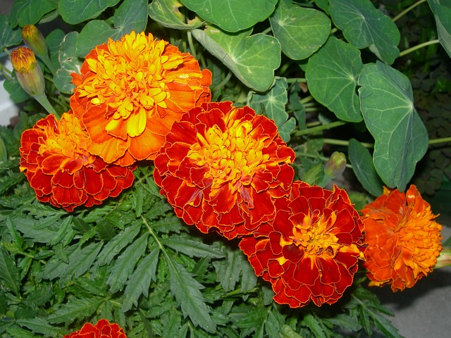 oranžové květy