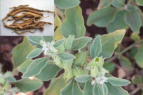 rostlina Ašvaganda s kořeny